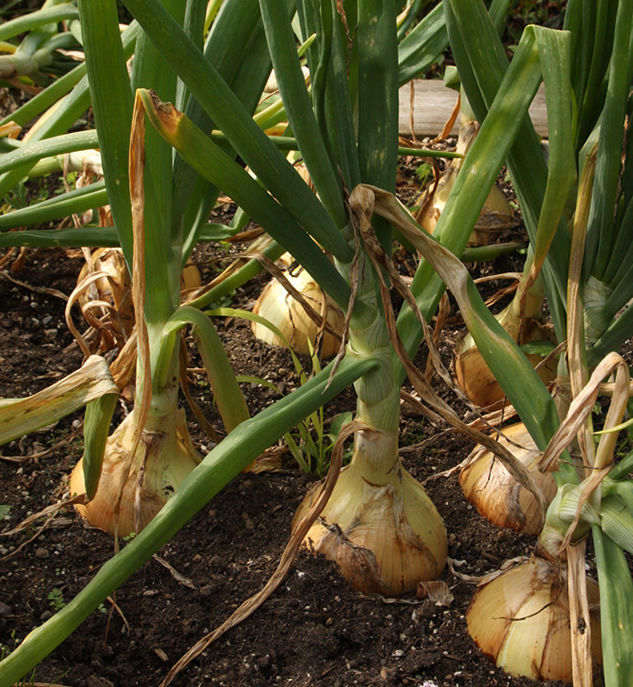 How long do onions take to mature